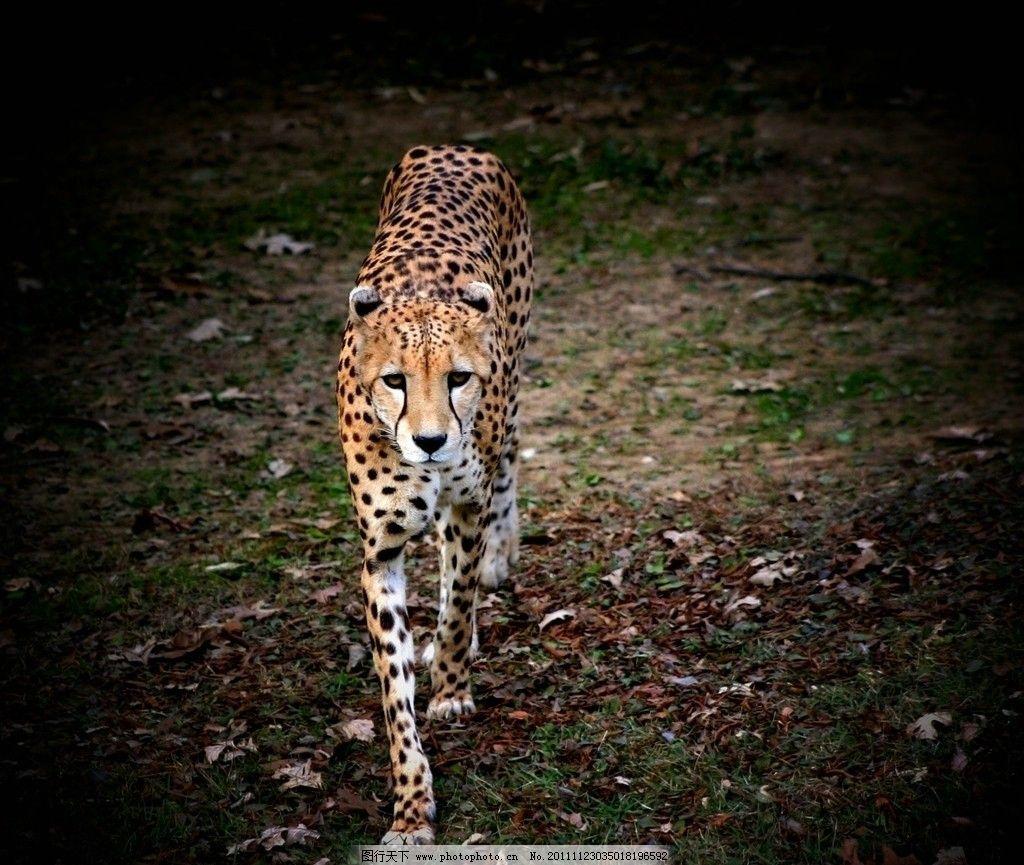 动物摄影 动物图片 豹 豹子 金钱豹 豹子图片 食肉动物 野生动物 猫科