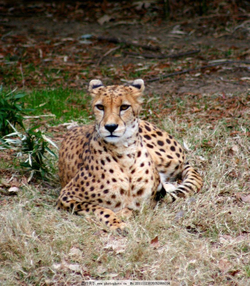 动物图片 豹 豹子 金钱豹