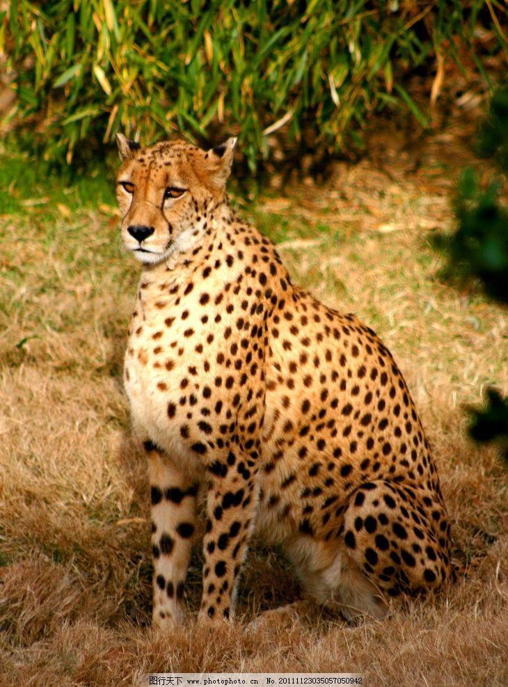 猎豹 动物摄影 动物图片 豹 豹子 金钱豹 豹子图片 食肉动物 野生动物