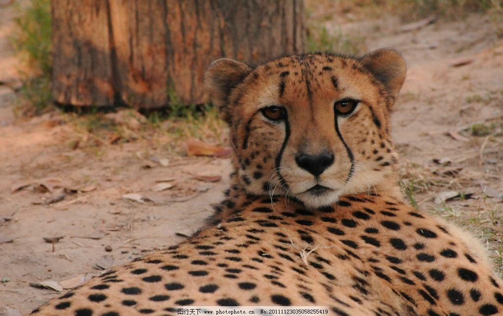动物摄影 动物图片 豹 豹子 金钱豹 豹子图片 食肉动物 野生动物 猫