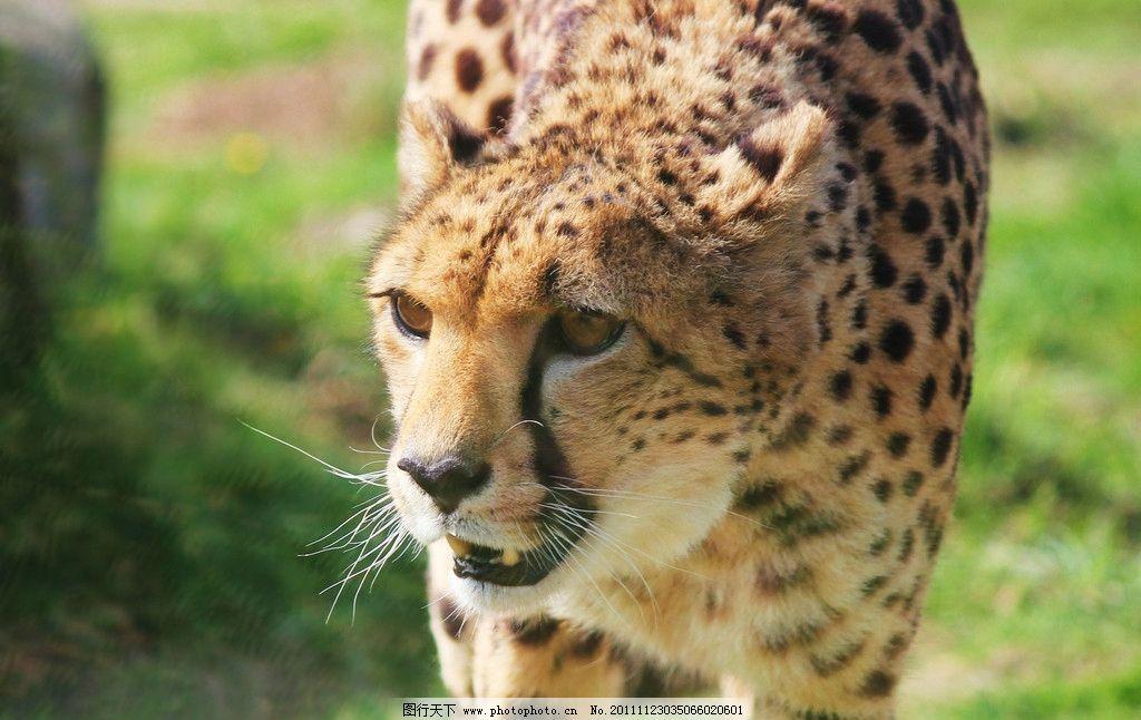 猎豹 动物摄影 动物图片 豹子 金钱豹 豹子图片 食肉动物 野生动物