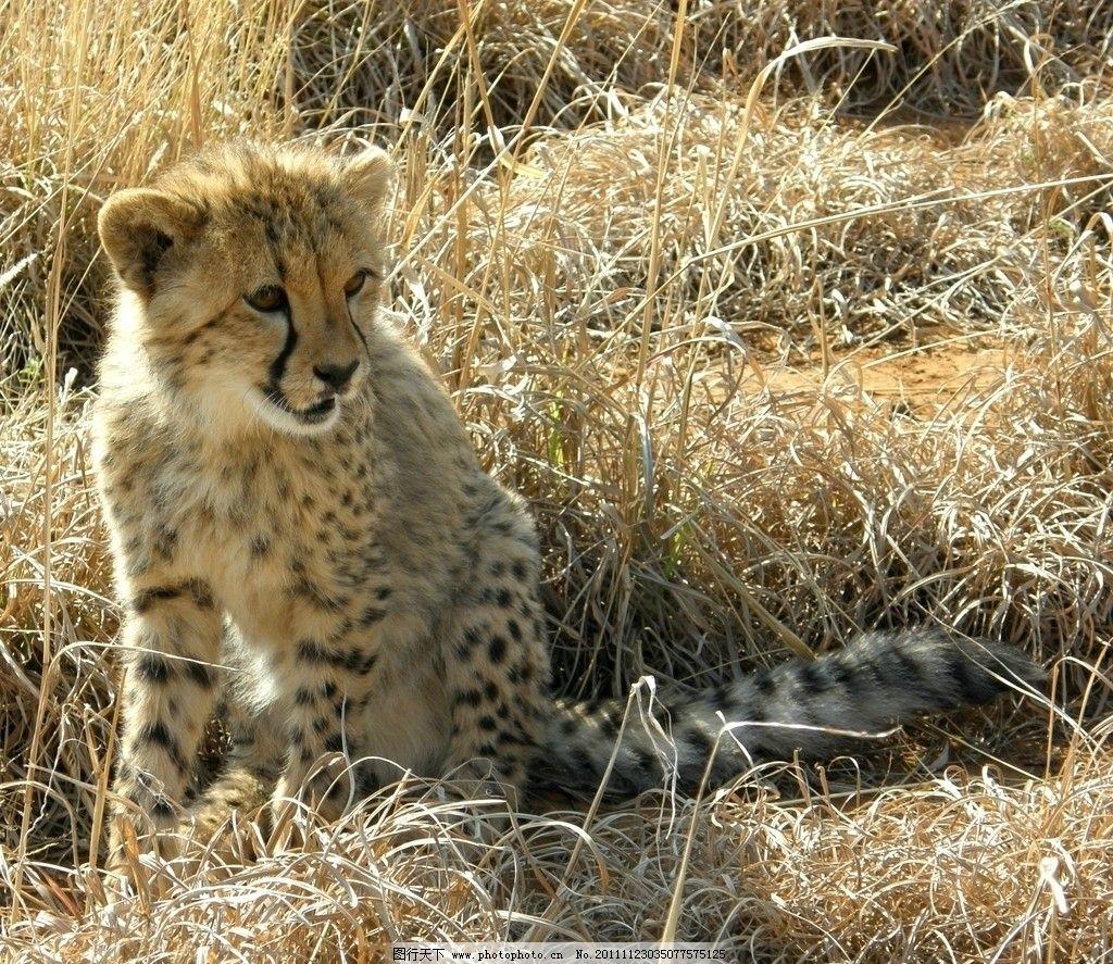 猎豹 动物摄影 动物图片 豹 豹子 金钱豹 豹子图片 食肉动物 野生动物 猫科动物 生物世界 摄影 72DPI JPG