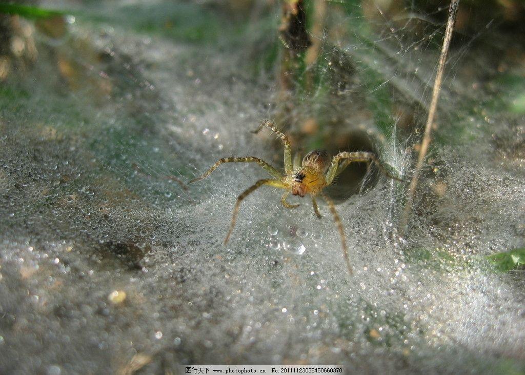 晨露蜘蛛 昆虫 小动物 蜘蛛 蛛网 露水 早晨 生物世界 摄影 180dpi