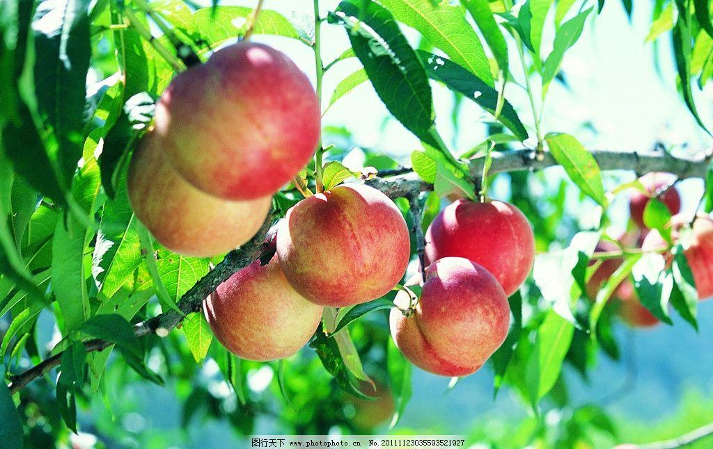 树上桃子 绿叶 果树 水果 生物世界 摄影