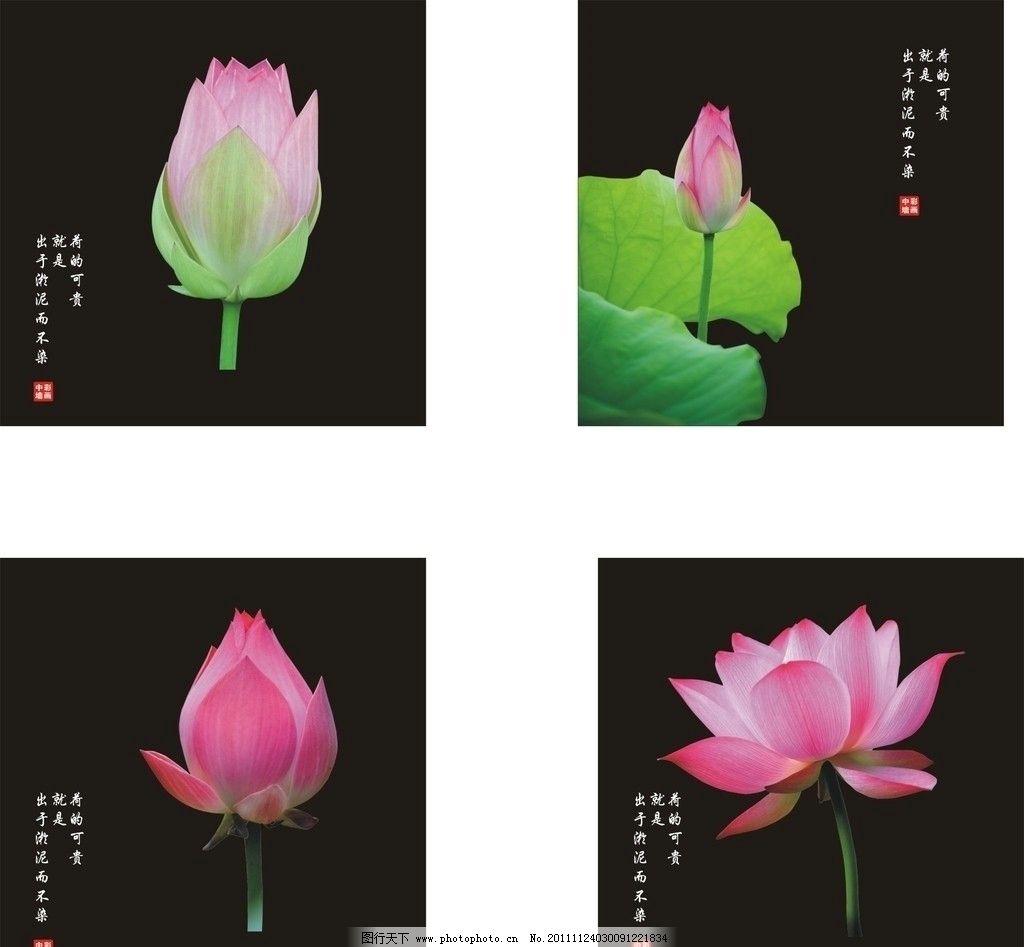 荷贵乎出于淤泥而不染 荷花 荷叶 莲花 花蕾 艳丽花朵 鲜花 可爱花朵