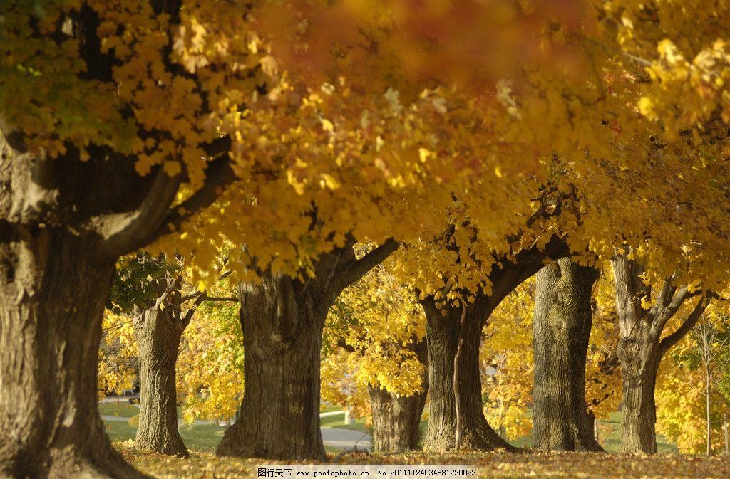 秋天的大树 大树 秋天风景 风光摄影图片 美丽景色 秋天 深秋 秋韵