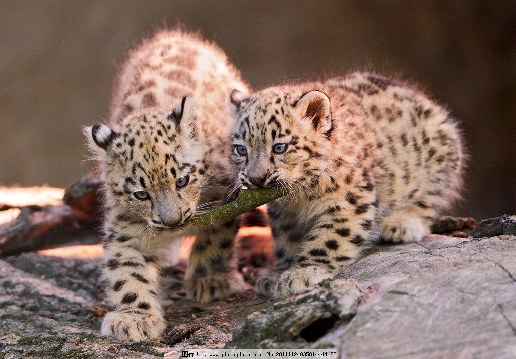 雪豹 可爱 玩耍 二只 豹子 花豹 小豹 脯乳动物 猫科动物 野生动物