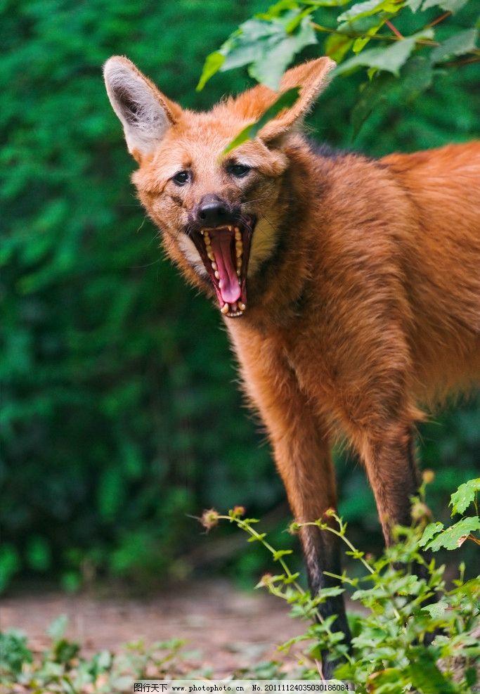 鬃狼 野狼 哺乳动物 棕色 非洲动物 野生动物 生物世界 摄影