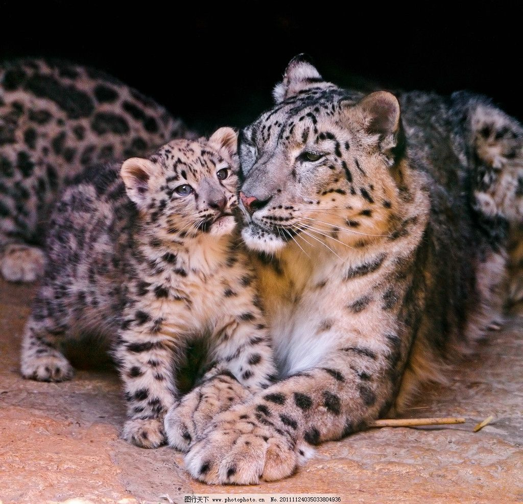母子 母豹 豹子 花豹 小豹 脯乳动物 猫科动物 野生动物 生物世界