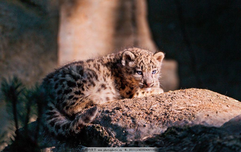 雪豹 趴着 晒太阳 豹子 花豹 小豹 脯乳动物 猫科动物 野生动物 生物