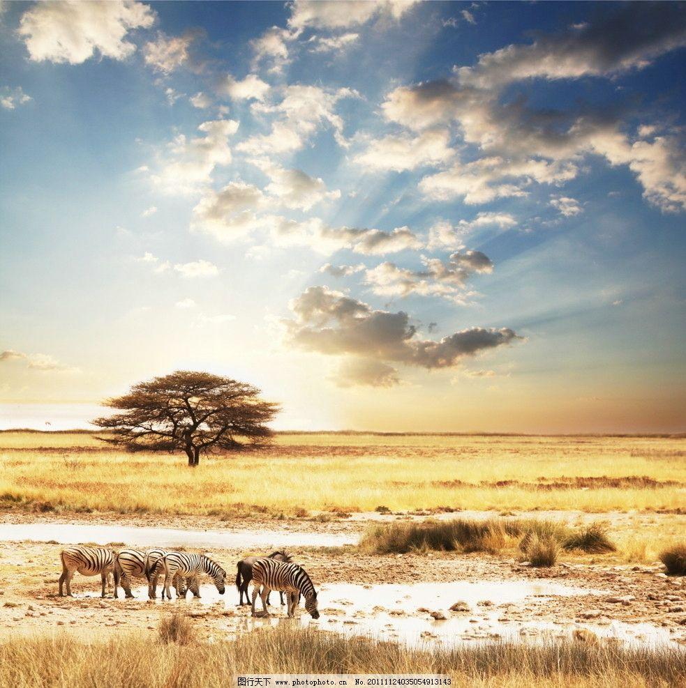 斑马 非洲沼泽地 喝水 秋天 动物世界 野生动物 生物世界 摄影