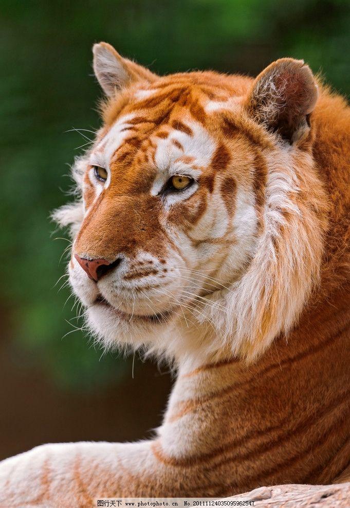 老虎 哺乳动物 东北虎 华南虎 保护动物 高清 野生动物 生物世界 摄影