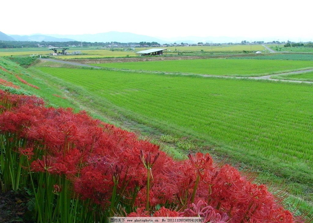 日本风光 田园 彼岸花图片
