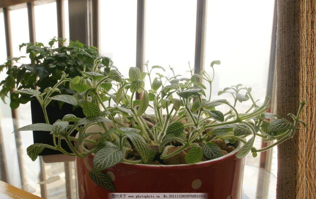 绿色植物 植物 绿色 盆栽 圣诞 花盆 网纹草 红花盆 家居植物 茂盛
