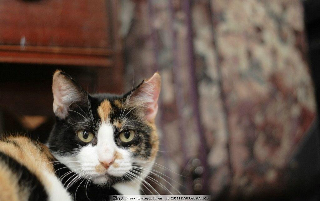 猫咪 可爱的猫 一双眼睛 猫子 动物 宠物 动物百科 摄影