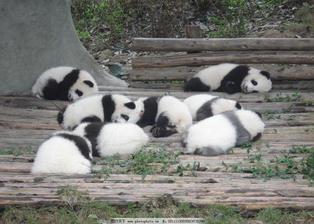 小熊猫 可爱的 睡觉 木板 草地 野生动物 生物世界 摄影