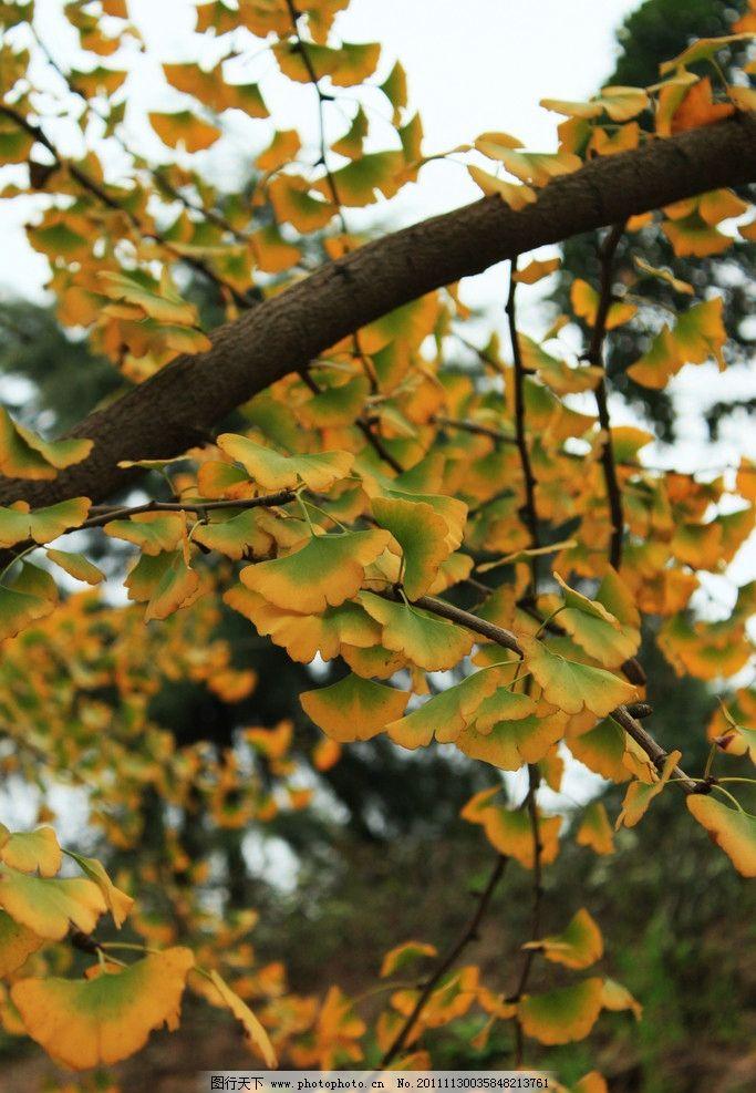 银杏叶图片_树木树叶_生物世界_图行天下图库