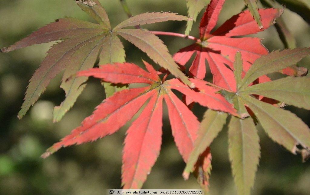 红叶 枫叶 树木树叶 生物世界 摄影 300dpi jpg