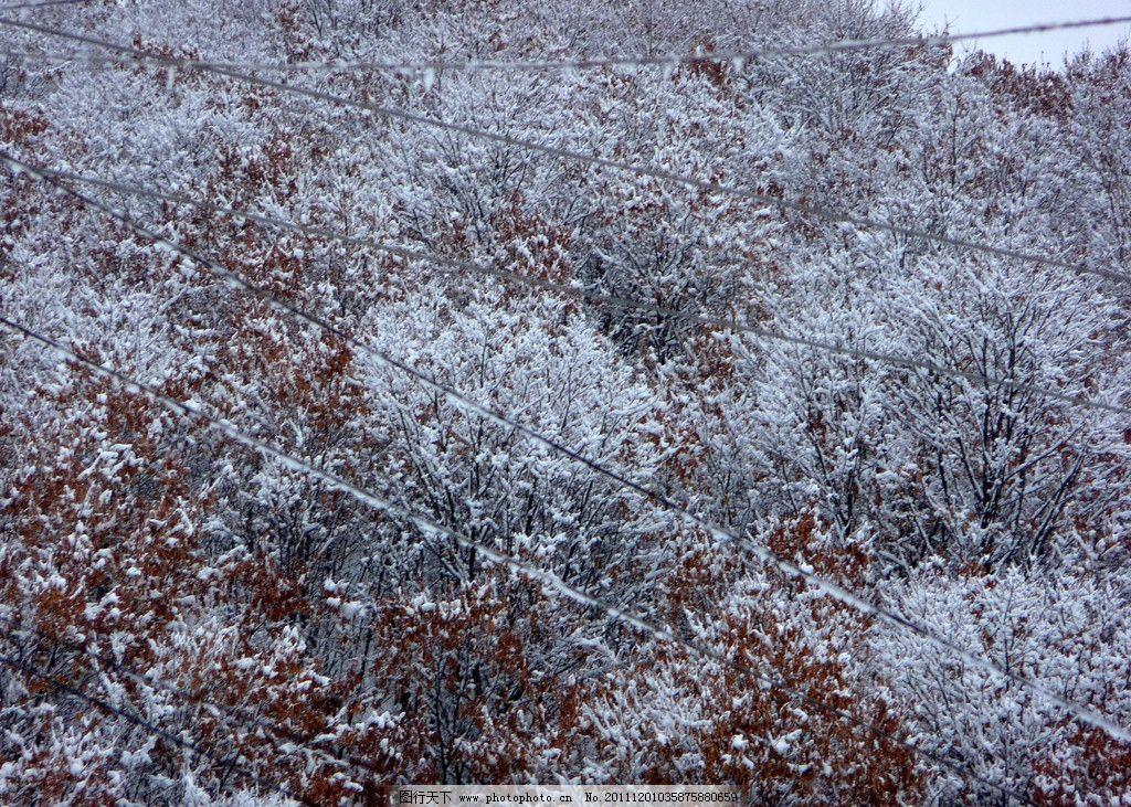 冬天红叶 冬天 大雪 叶子 黄色叶子 电线 树木树叶 生物世界 摄影 180