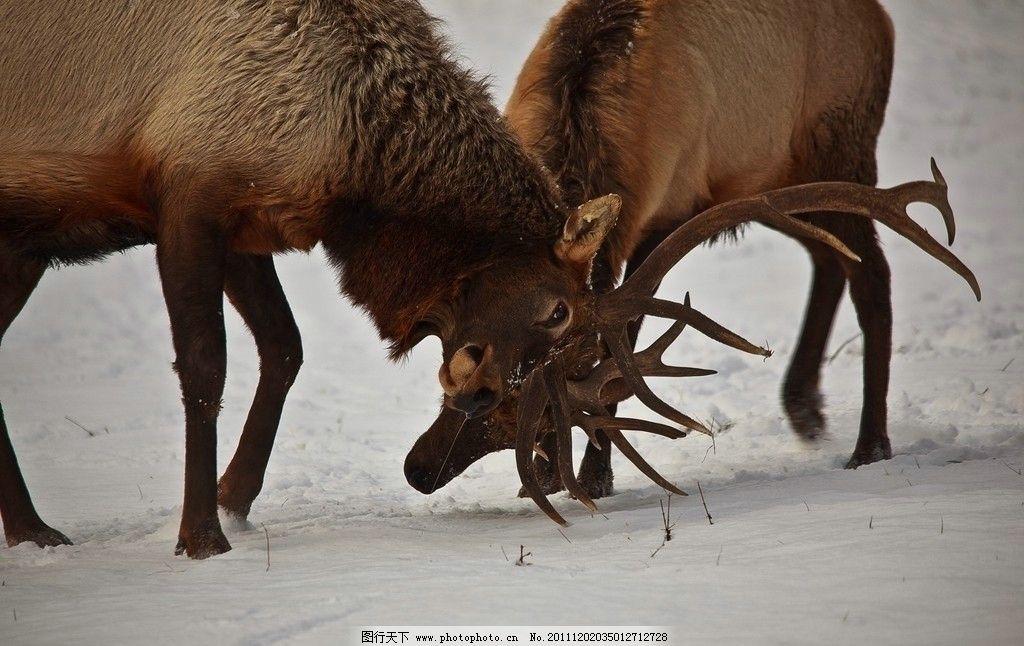 雪地上斗角驯鹿 竞争 比赛 动物园 寒冷 摄影