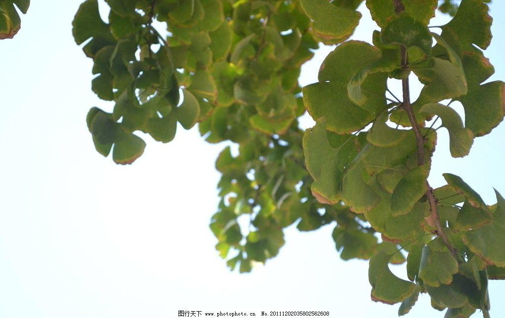 银杏树叶和蔚蓝天空图片