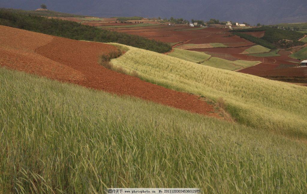 小麦 丘陵 梯田 自然 农田 远景 田园风情 摄影