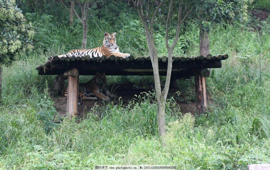 考虎 老虎 森林老虎 森林之王 一只老虎 野生动物 生物世界 摄影