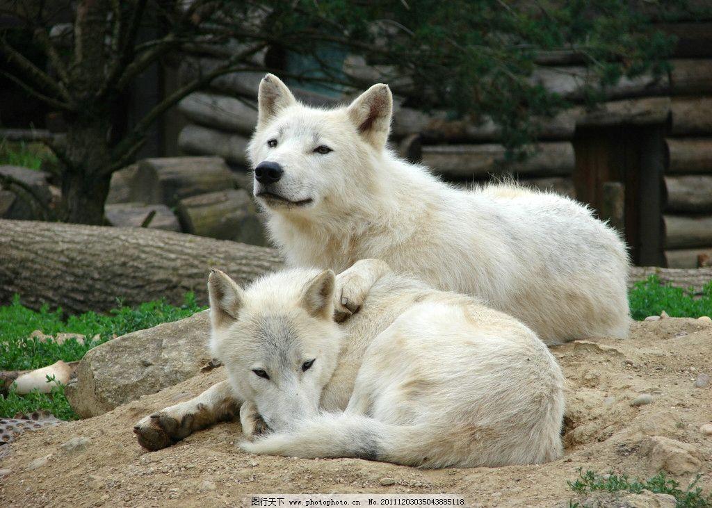 动物园里的狼图片