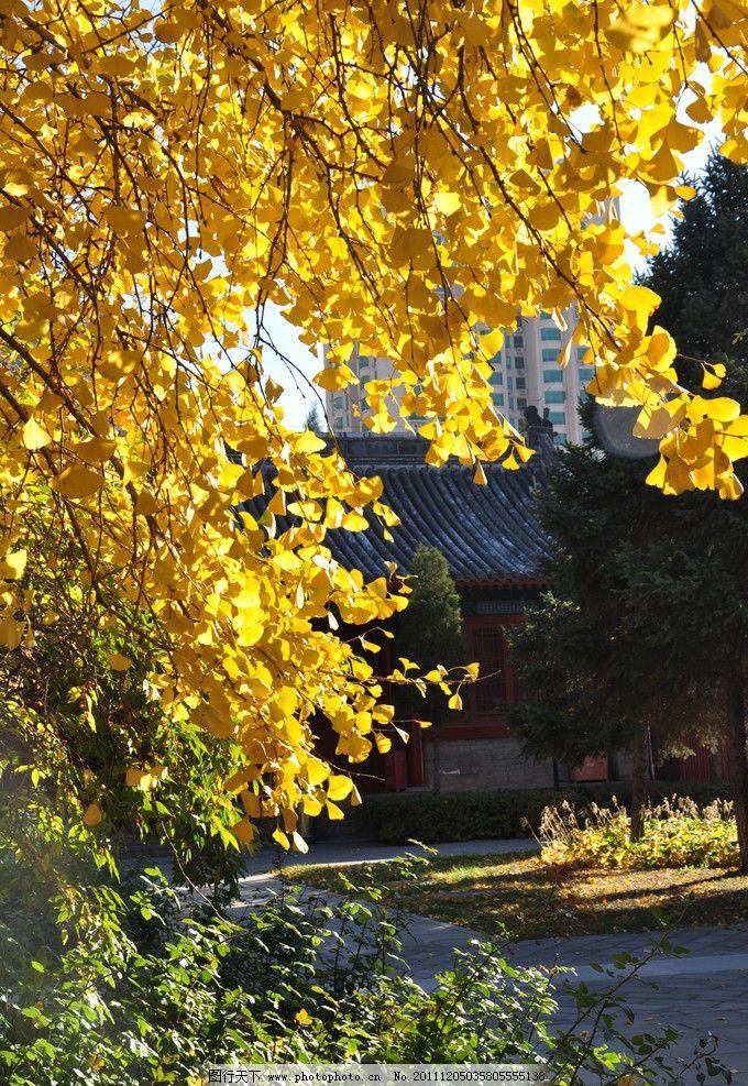 秋天 银杏叶图片