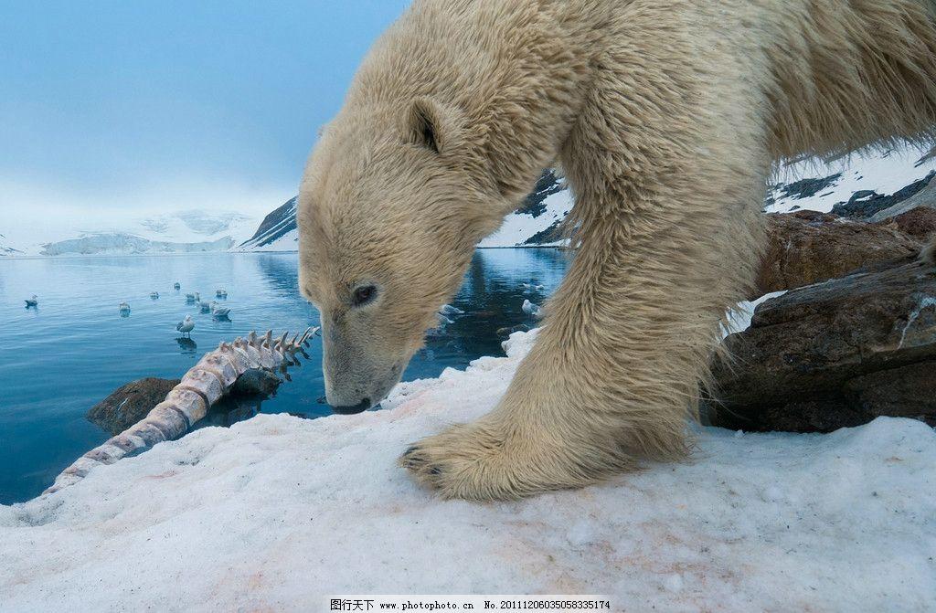 北极熊 极熊 玩耍 冰河 海豹尸骨 觅食 雪地 北极 野生动物 生物世界