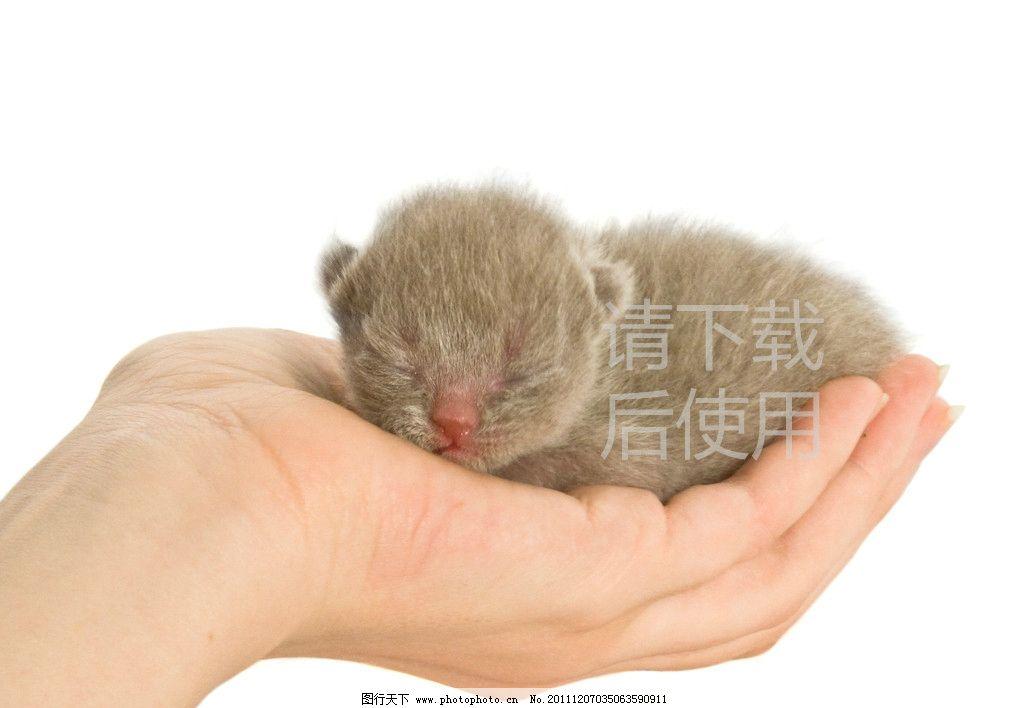 可爱小仓鼠 仓鼠 可爱 小老鼠 腮鼠 中华仓鼠 布丁 跳鼠 一线鼠 银狐