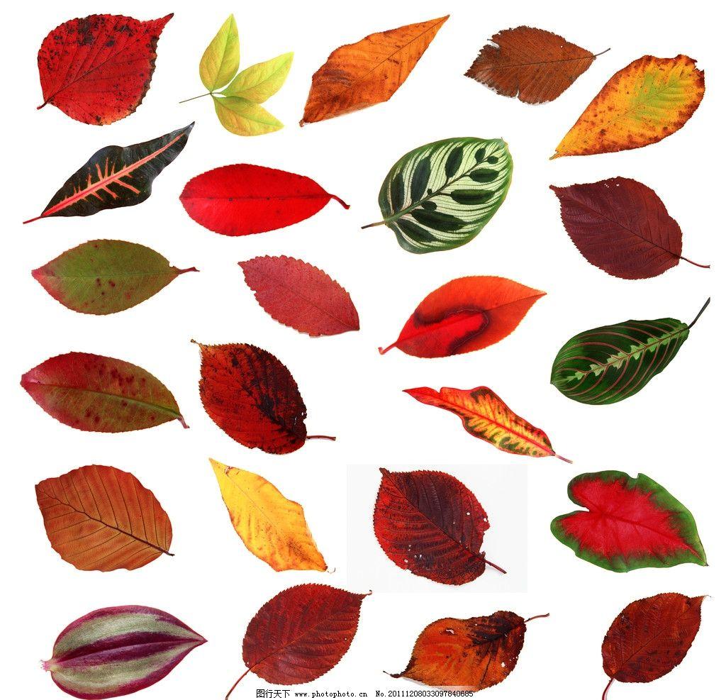 单片秋叶 叶子 标本 痕迹 树木 树叶 秋色 源文件