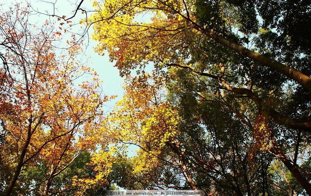 枫树林 秋天 枫树 天空 红色 透明 阳光 余晖 红叶 树木树叶 生物世界