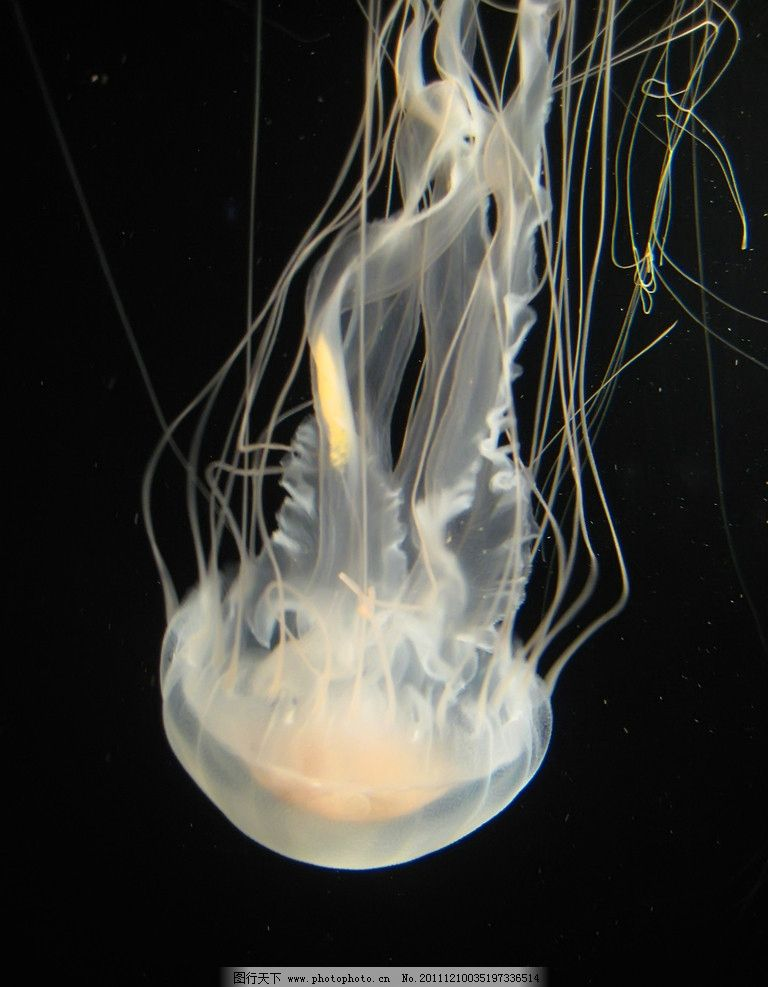 水母 动物摄影 水母摄影 海洋生物 海洋水母 无脊椎动物 水母图片