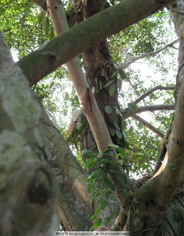 海南花梨木叶子图片