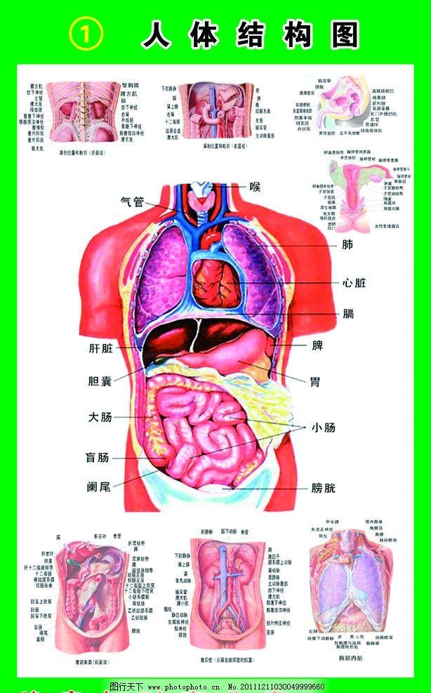 人体腹部结构图