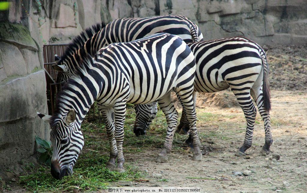 斑马 动物园 动物 动物摄影 黑白 黑白条纹 野生动物 食草动物 哺乳