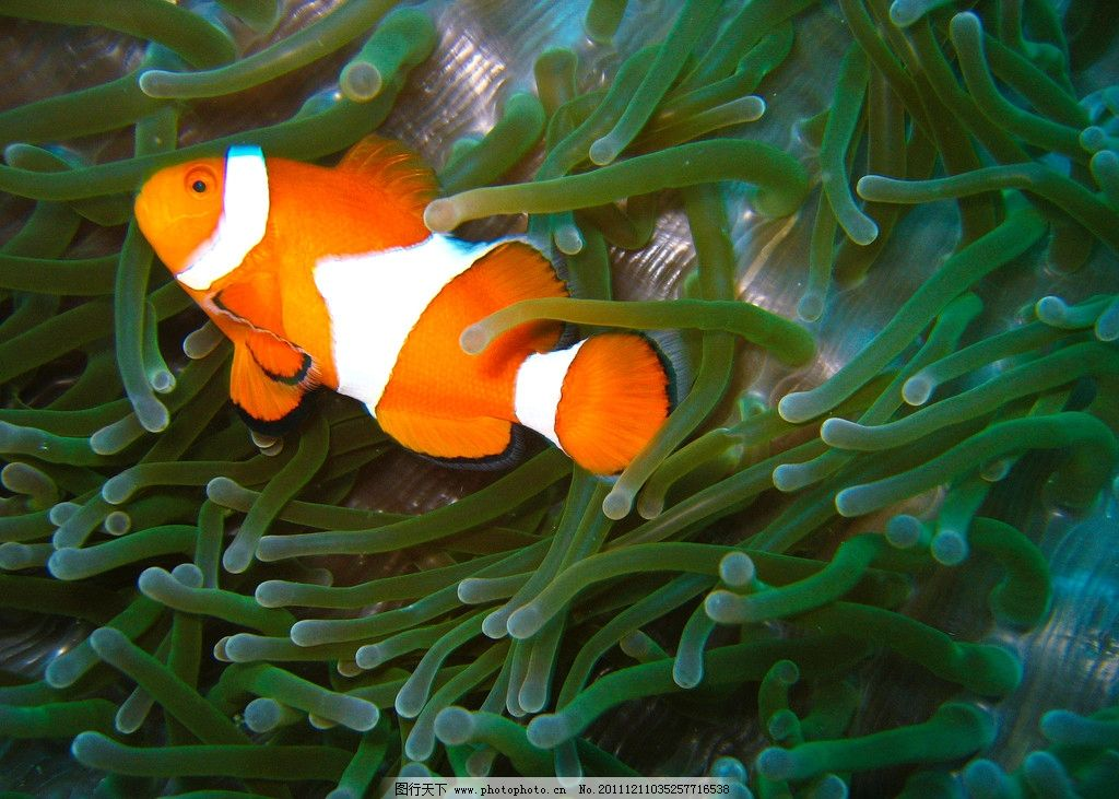 海底世界美丽可爱小丑鱼图片