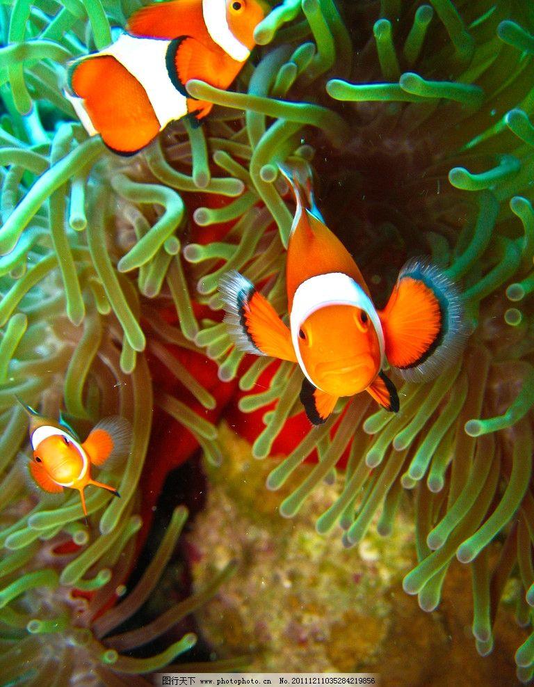 海底世界美丽可爱小丑鱼图片_鱼类_生物世界_图行天下