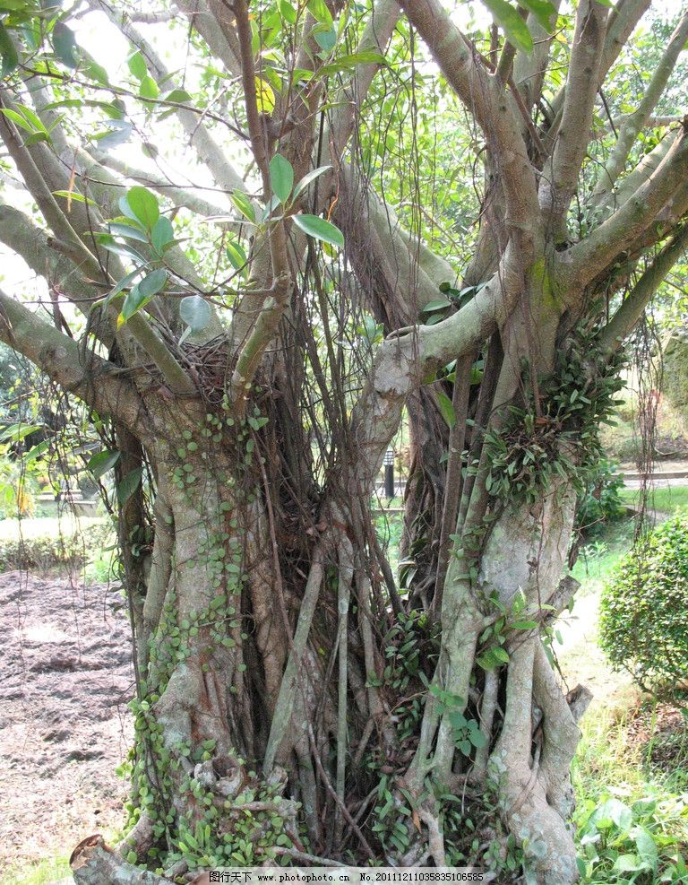 榕树 海南植物 古树 素材 树木树叶 生物世界 摄影 180dpi jpg