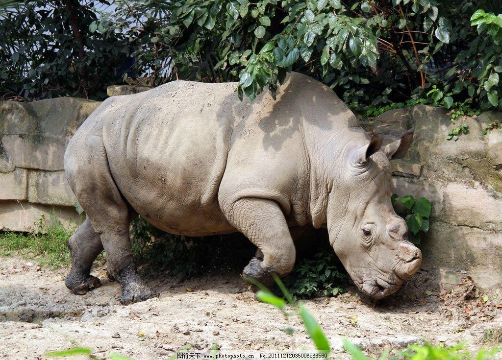 犀牛 动物园 大型动物 哺乳类 哺乳动物 陆生动物 草食动物 珍稀动物