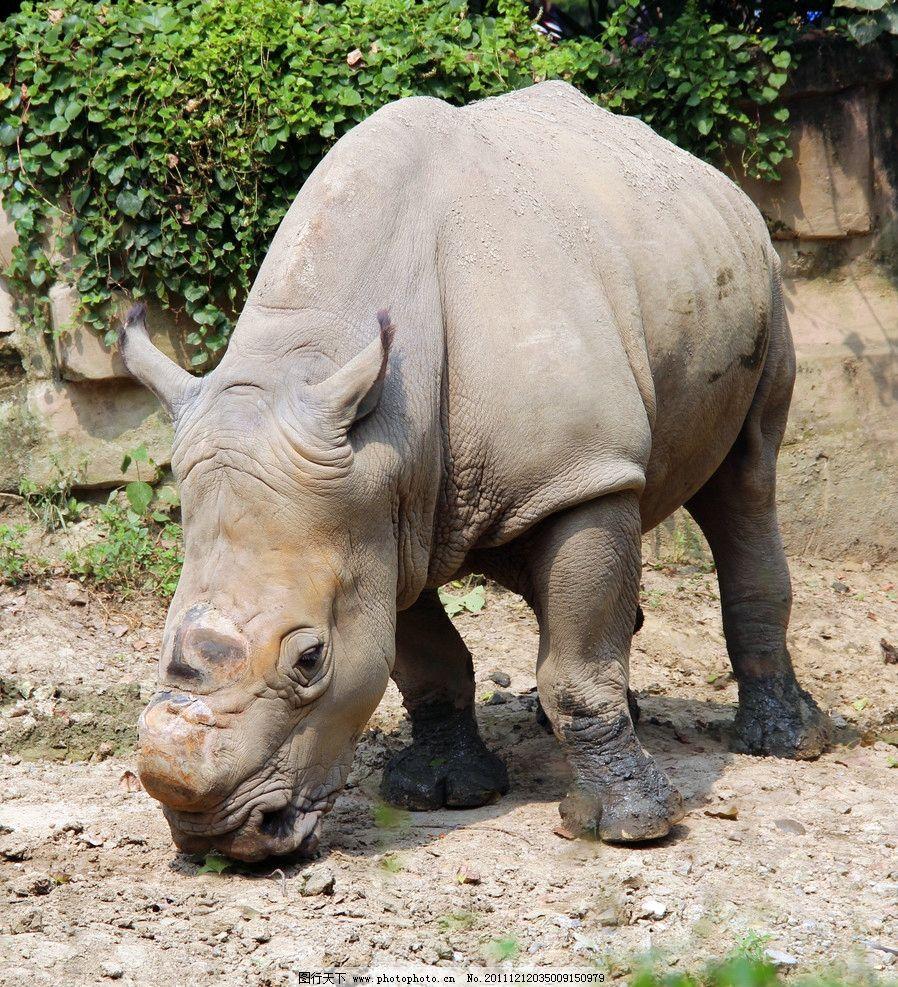 犀牛 动物园 动物 大型动物 哺乳类 哺乳动物 陆生动物 草食动物 珍稀