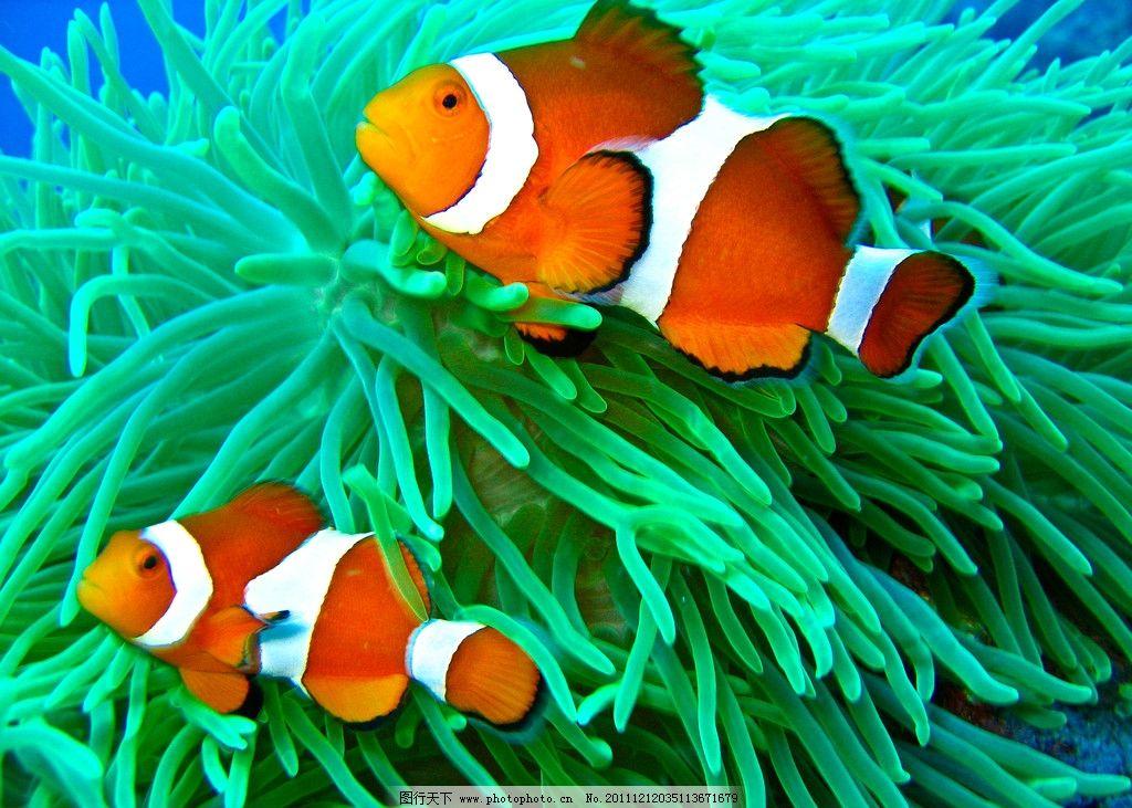 珊瑚中小丑鱼 热带 可爱 桔色条纹 观赏 海底世界 热带鱼 摄影