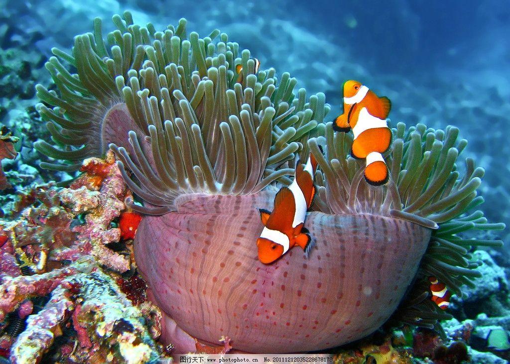 海底世界美丽小丑鱼 可爱 珊瑚 热带 潜水 发现 卡通 大自然