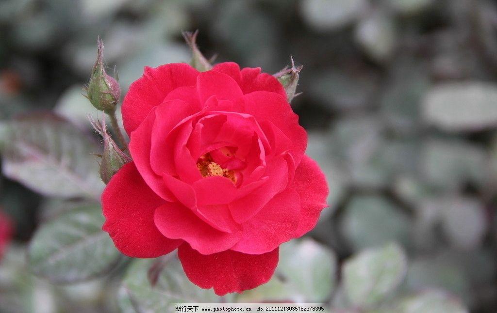 玫瑰花 兰州 黄河 公园 植物园 休闲 摄影 树木 红色 姹紫嫣红