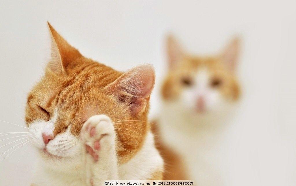 洗脸的可爱小花猫图片