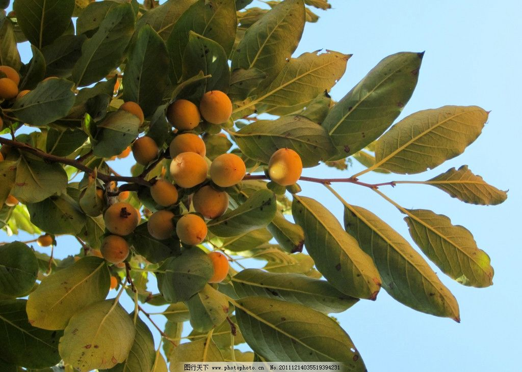 枣树的果实图片