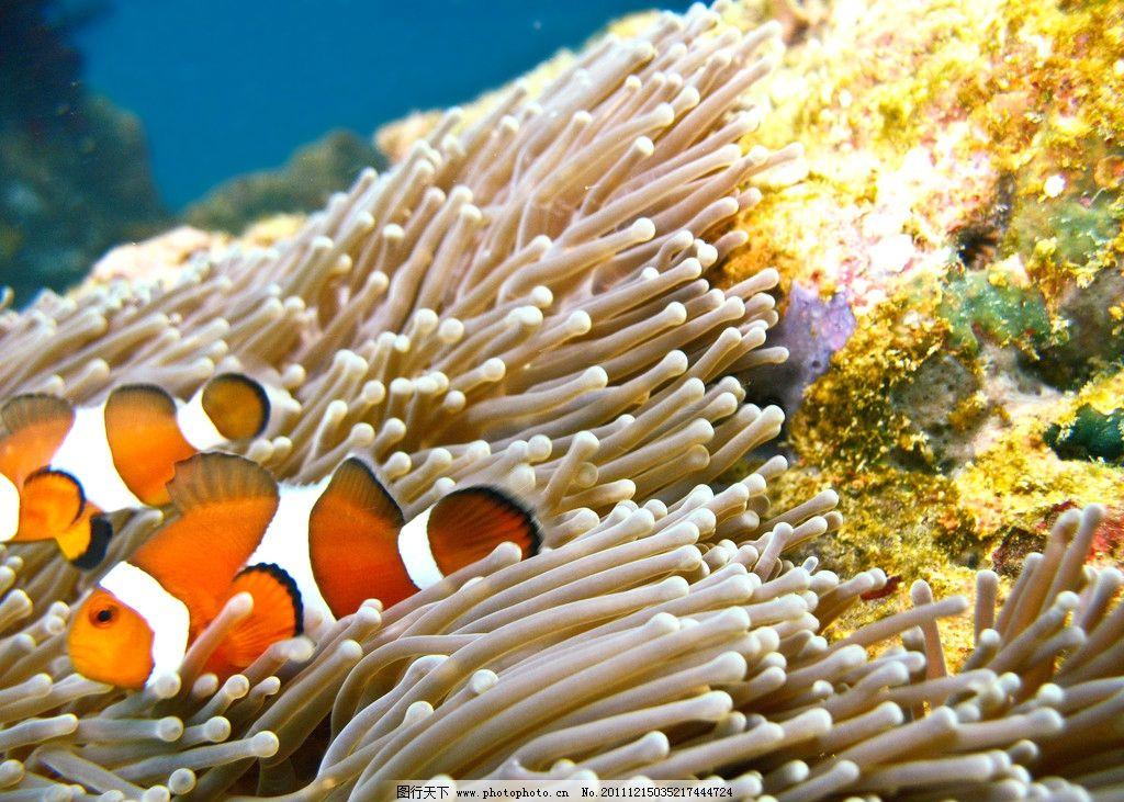 热带海洋珊瑚小丑鱼 热带 海洋 珊瑚 小丑鱼 水族馆 自由 可爱 欣赏