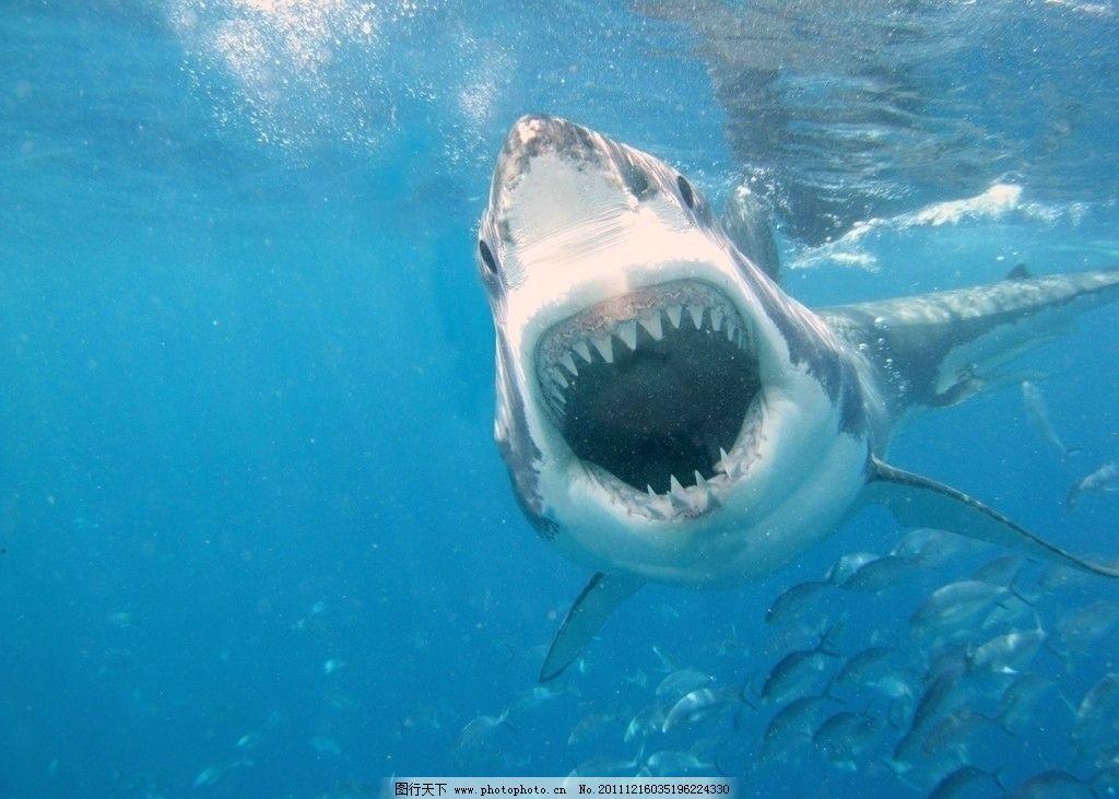 鲨鱼 白鲨 鱼群 特写 尖牙 海洋生物 生物世界 摄影 72dpi jpg