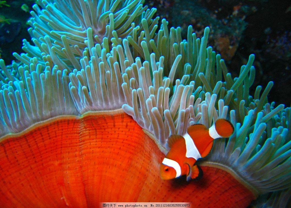 鱼类  热带海洋珊瑚小丑鱼 热带 海洋 珊瑚 小丑鱼 水族馆 自由 可爱